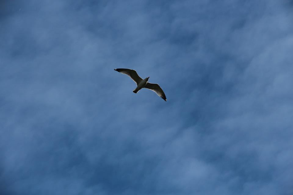 Kittiwake, Rissa Tridactyla, Bird, Seagull, Sky, Flies
