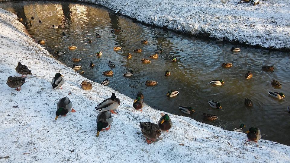 Ducks, Bird, Water, Pond, River