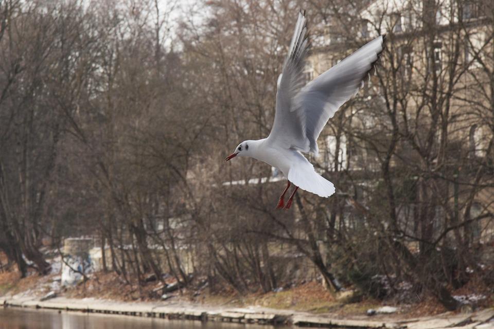 Seagull, Bird, Nature, River, Flight, Wing Beat