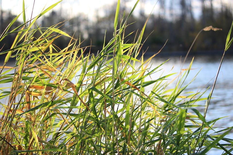 Grass, Reeds, River, Plants, Leaves, Flora, Nature