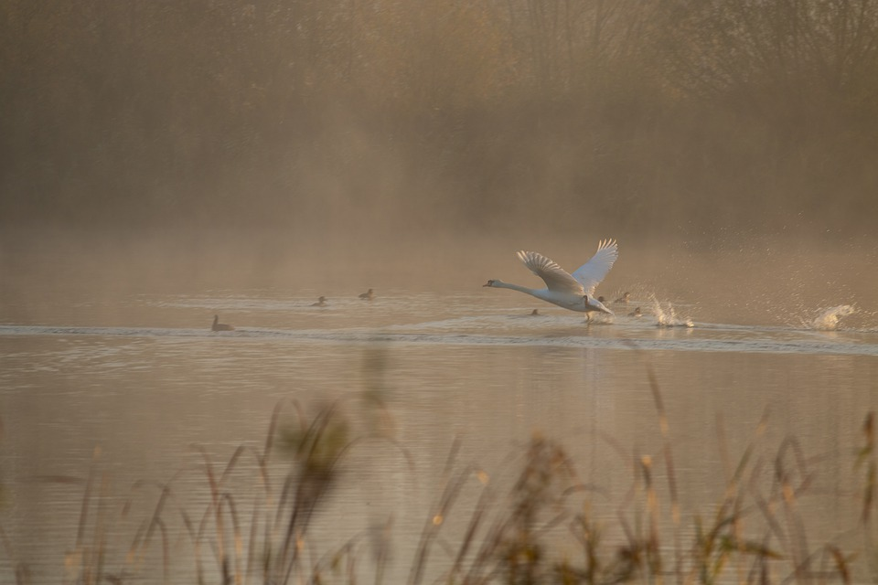 Swan Taking Off, Mist, Sunrise, Riverbank, River Grass
