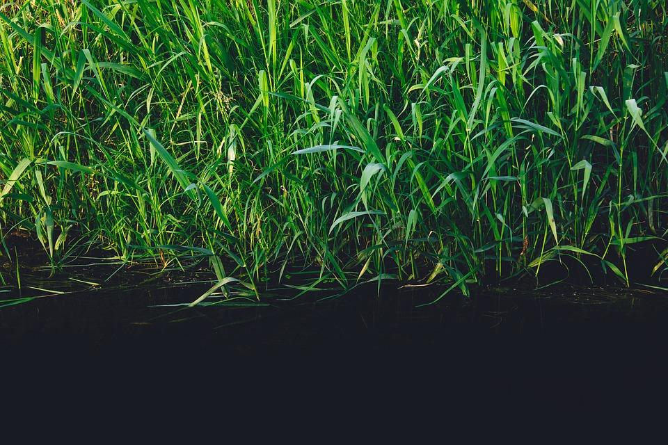 Green, Plants, Reeds, Grass, River, Water, Stream