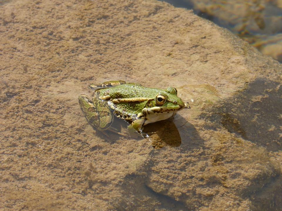 Frog, Batrachian, Green Frog, River, Pond