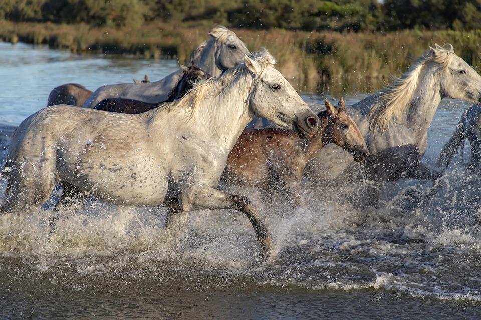 Horses, Herd, Animals, River, Running, Nature, Mane