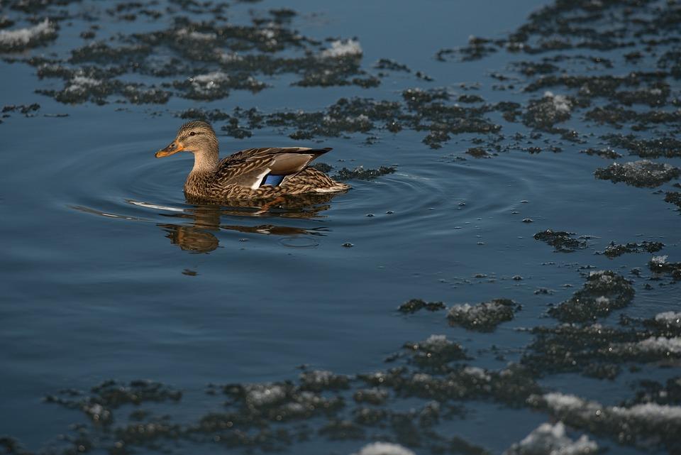 Wild Goose, River, Blue, Winter, Snow, Ice, Water
