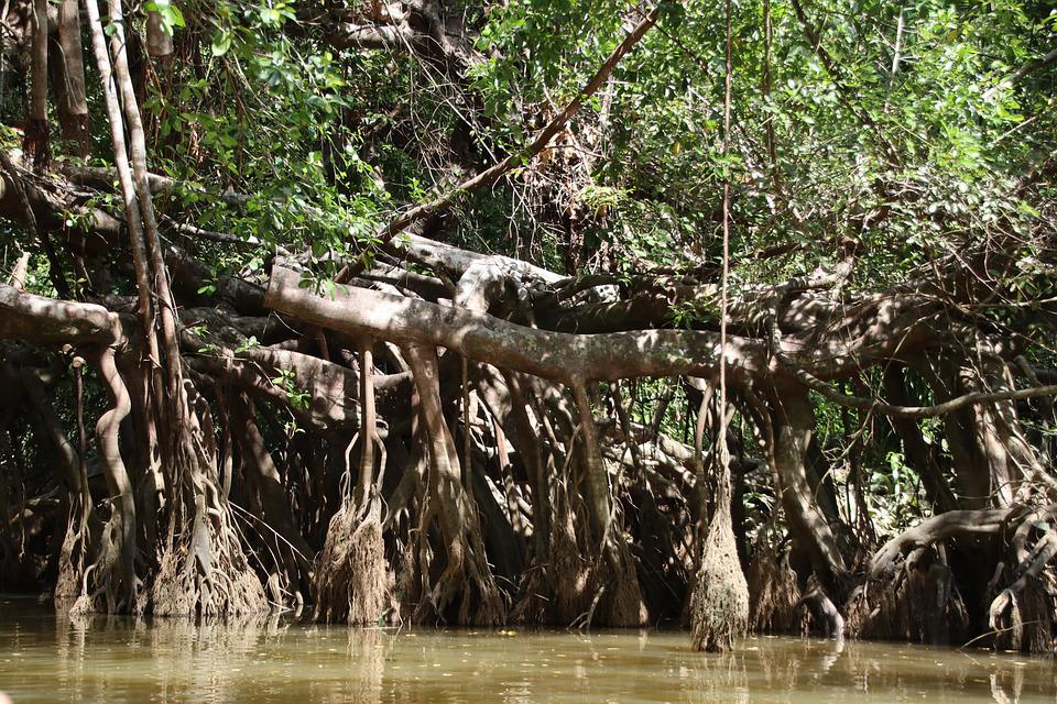 Mangroves, River, Forest, Nature, Flora, Tropical