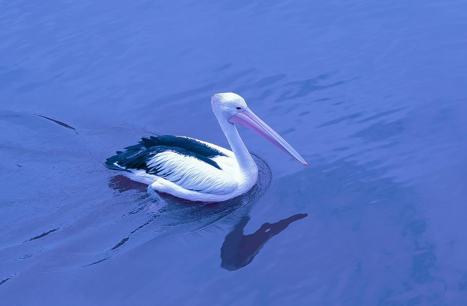 Pelican, River, Bird, Nature