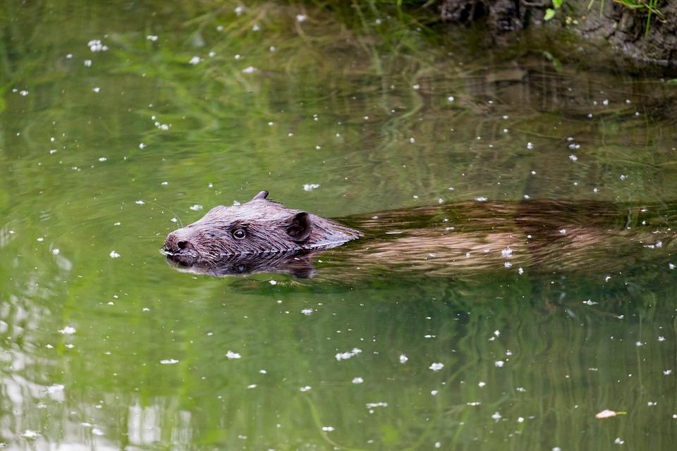 Beaver, Amp Shipping, Mammal, Fur, Pond, River, Wild