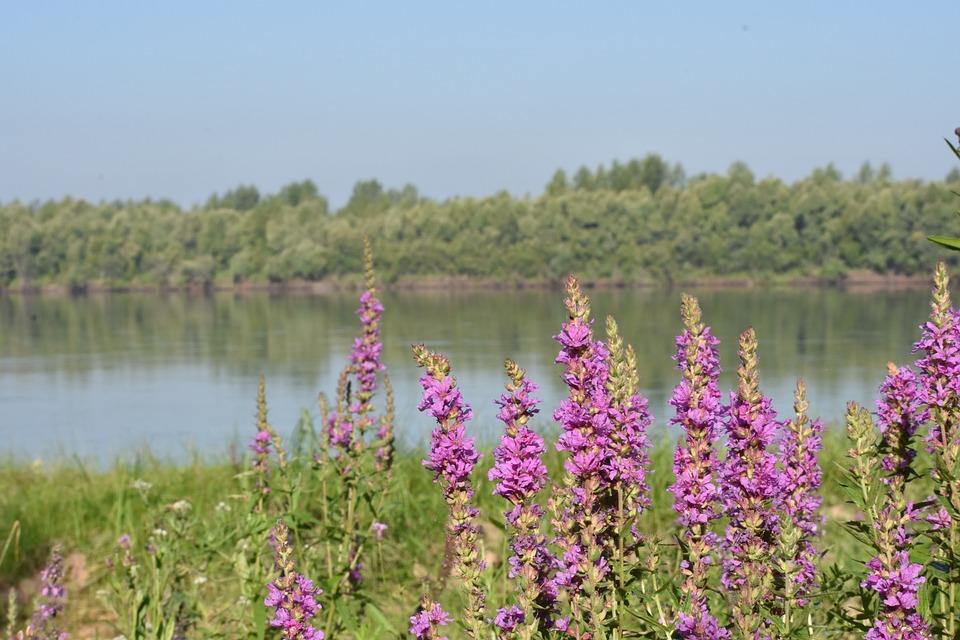 Flowers, Forest, Beach, River, Novosibirsk, Siberia