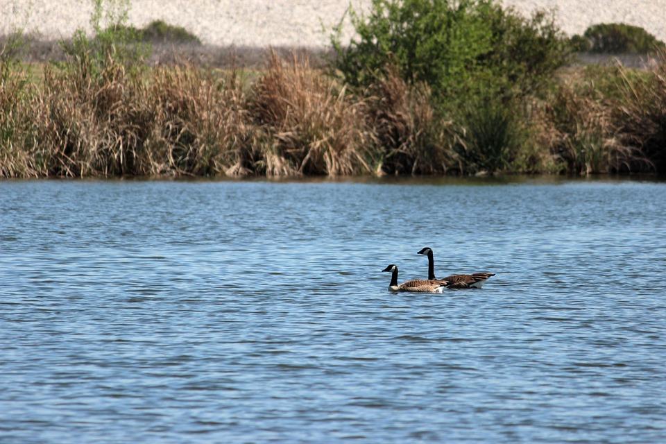 Geese, Swim, River, Canada, Water, Goose, Nature