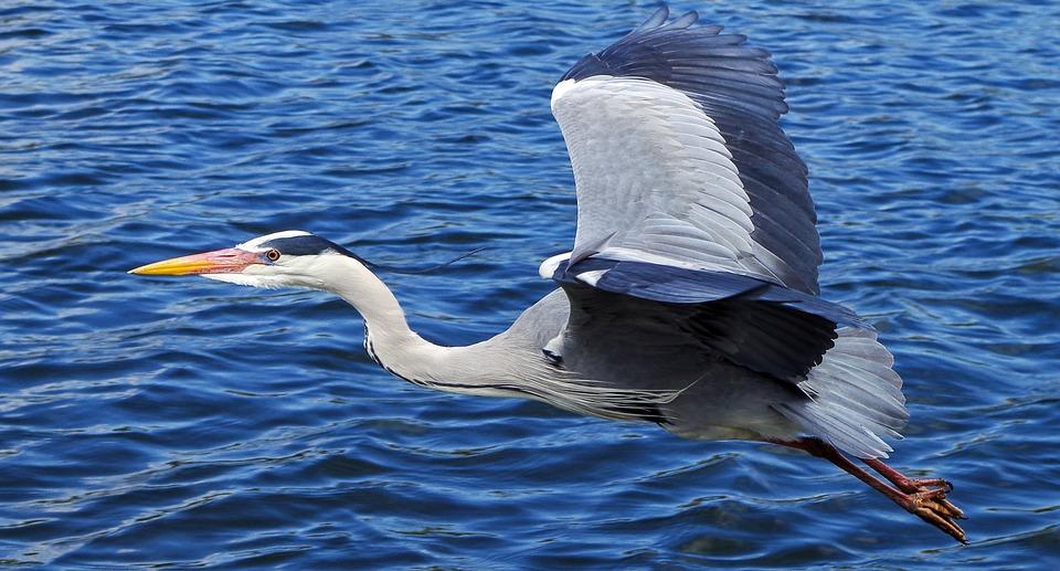 Grey Heron, Bird, Graceful, Large, River, Water, Flying