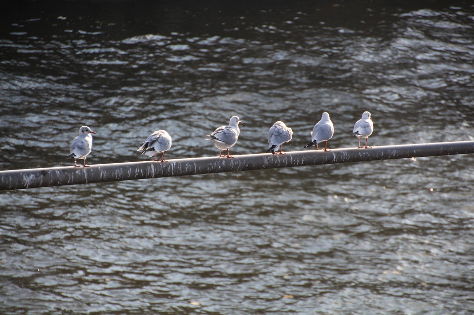 Seagulls, River, Bird, Seagull, Water, Wild Bird, Main