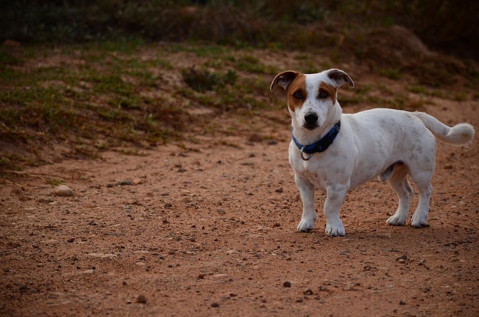 Dog, Road, Pet