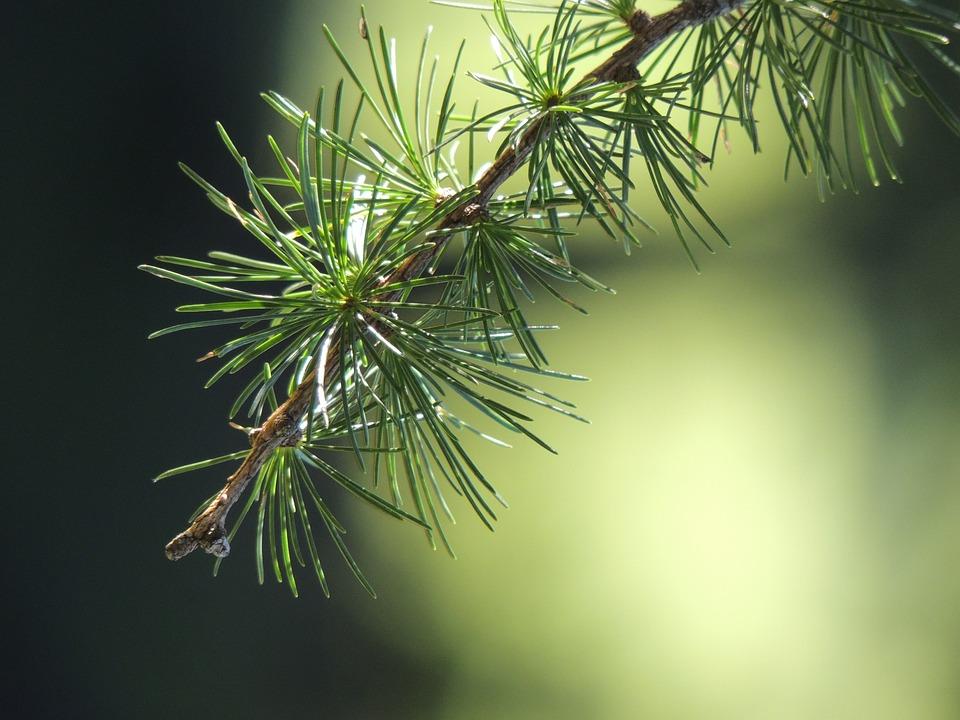 Firs, Fir, Road, Nature, Green, Forest, Larch