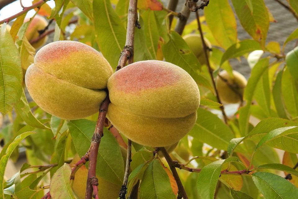 Peaches, Peach Tree, Road, Fruits, Fruit, Food
