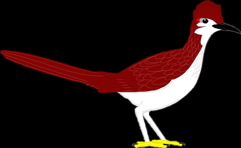 Bird, Wings, Roadrunner, Feathers, Species