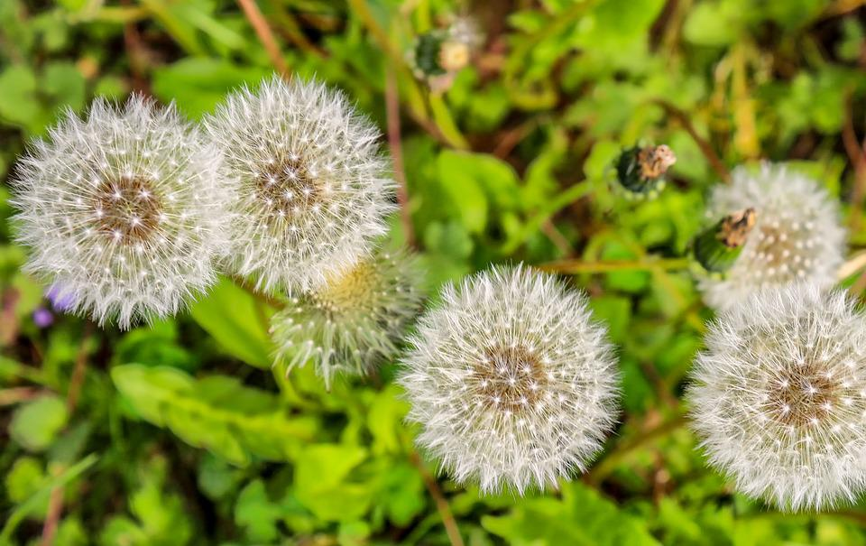 Dandelion, Plant, Nature, Roadside, Weed, Wild Flower