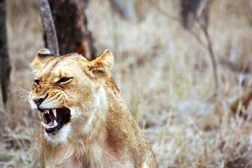 Lioness, Roar, Animal, Safari, Savannah, Africa, Fauna