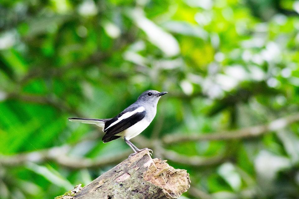 Robbin, The National Bird Of Bangladesh, Bangladesh