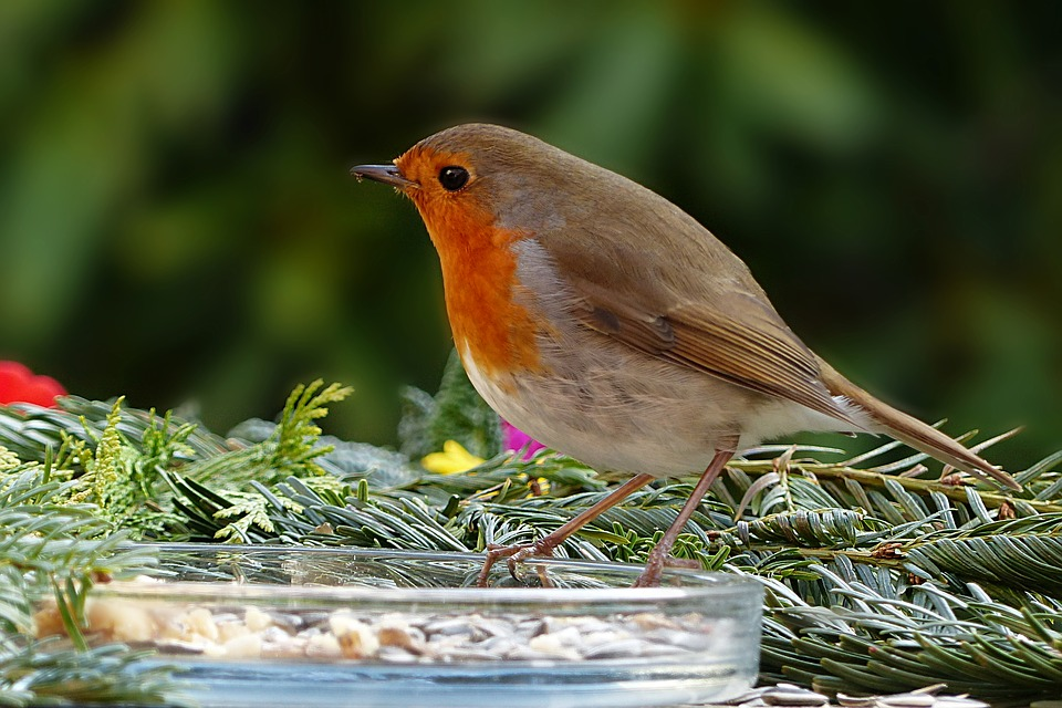 Nature, Animal, Bird, Songbird, Robin