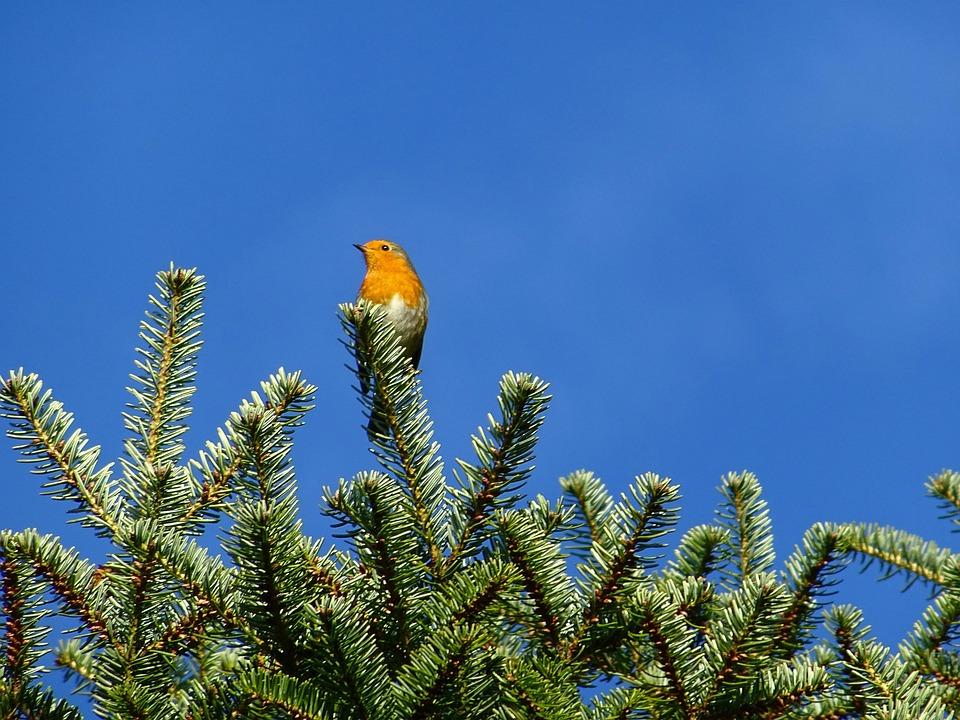 Bird, Robin, Holly, Fir Tree, Bill, Branch, Animal
