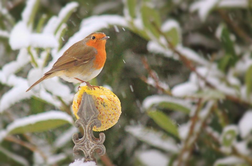 Robin, Bird, Songbird, Foraging, Winter, Animal, Male