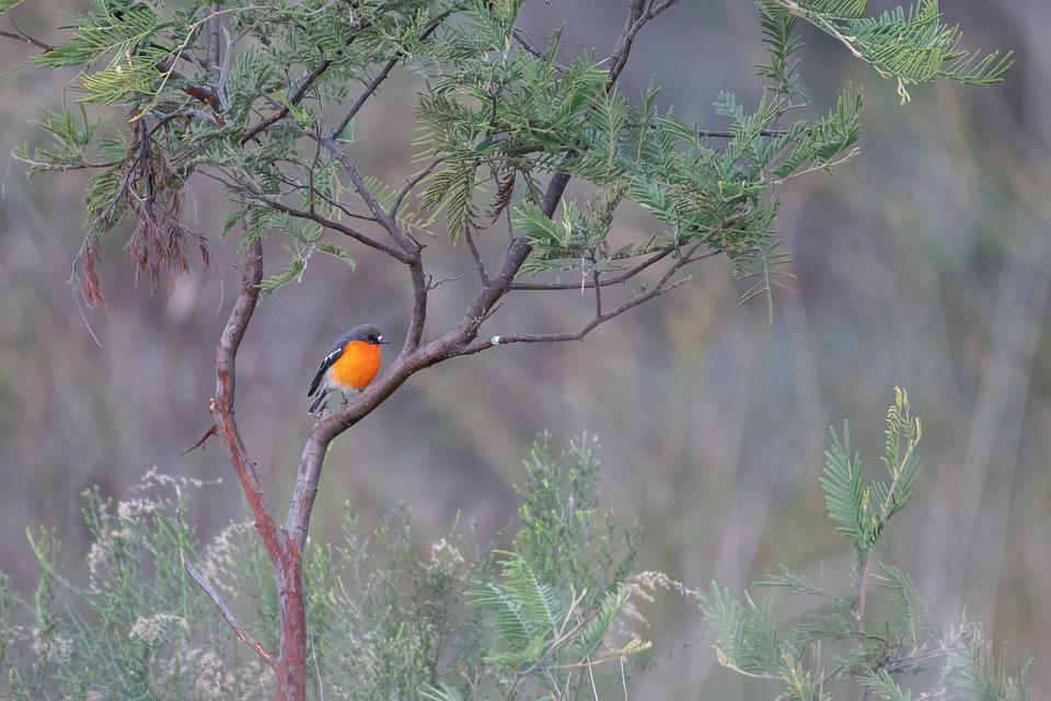 Flame Robin, Robin, Bird, Petroica Phoenicea, Male Bird