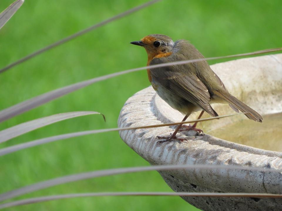 Robin, Bird, Garden, British, Redbreast