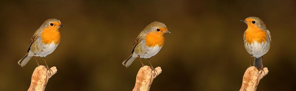 Robin, Bird, Garden, Songbird, Nature, Garden Bird