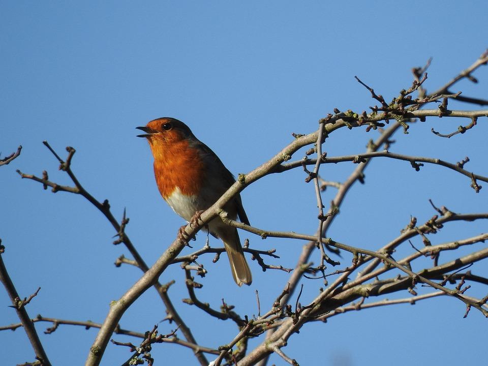 Robin, Bird, Wild, Animal, Wildlife, Songbird, Tree