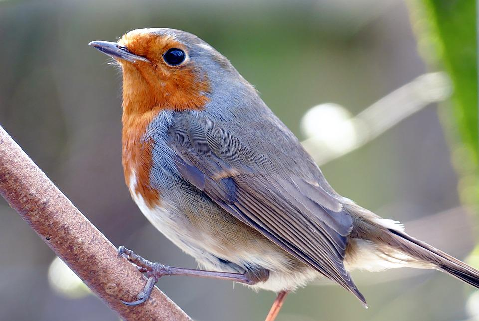 Robin, Bird, Nature, Wildlife, Animal, Garden, Wild
