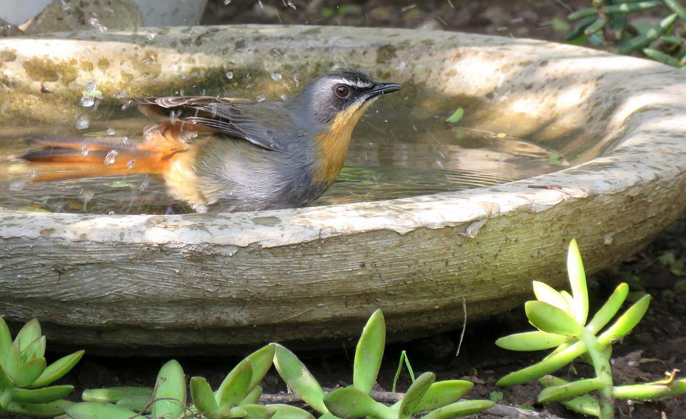Bird, Robin, Birdbath, Bird Bathing, Bathing, Water