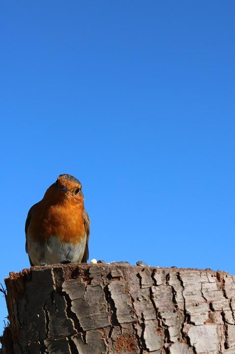 Robin, Blue Sky, Sky, Nature, Blue, Tree, Bird