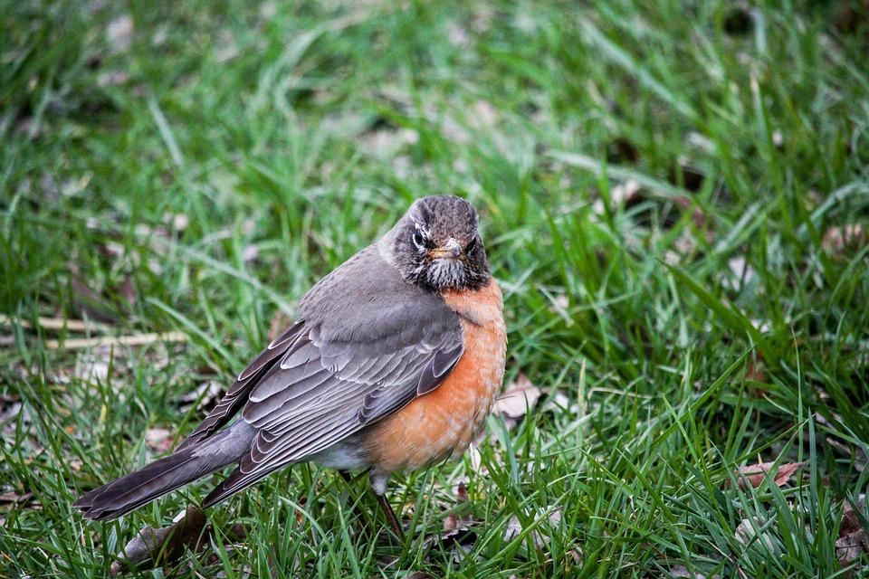 Nature, Grass, Outdoors, Wildlife, Bird, Robin