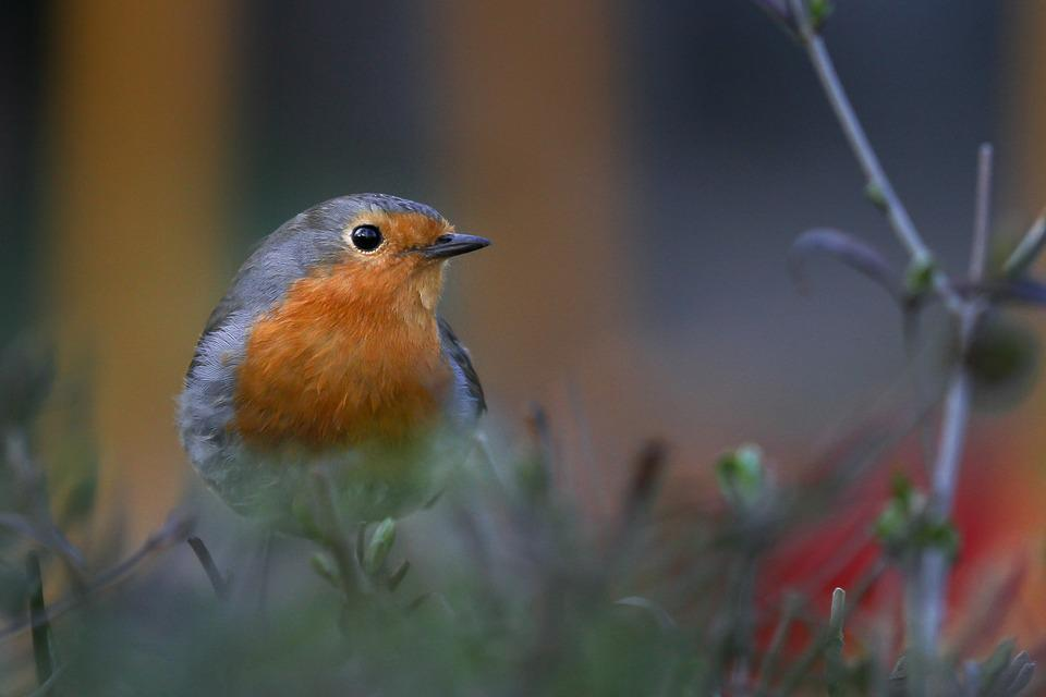 Nature, Robin, Songbirds, Animals, Birds, Plumage