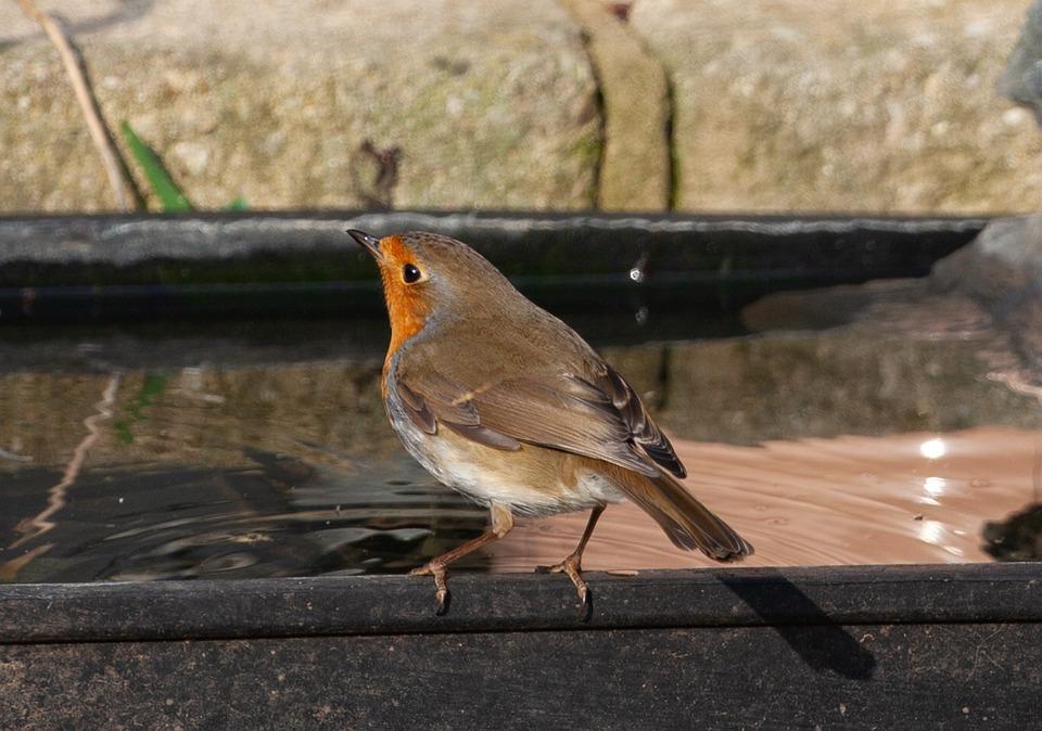 Robin Redbreast In Water, Robin, Robin Redbreast