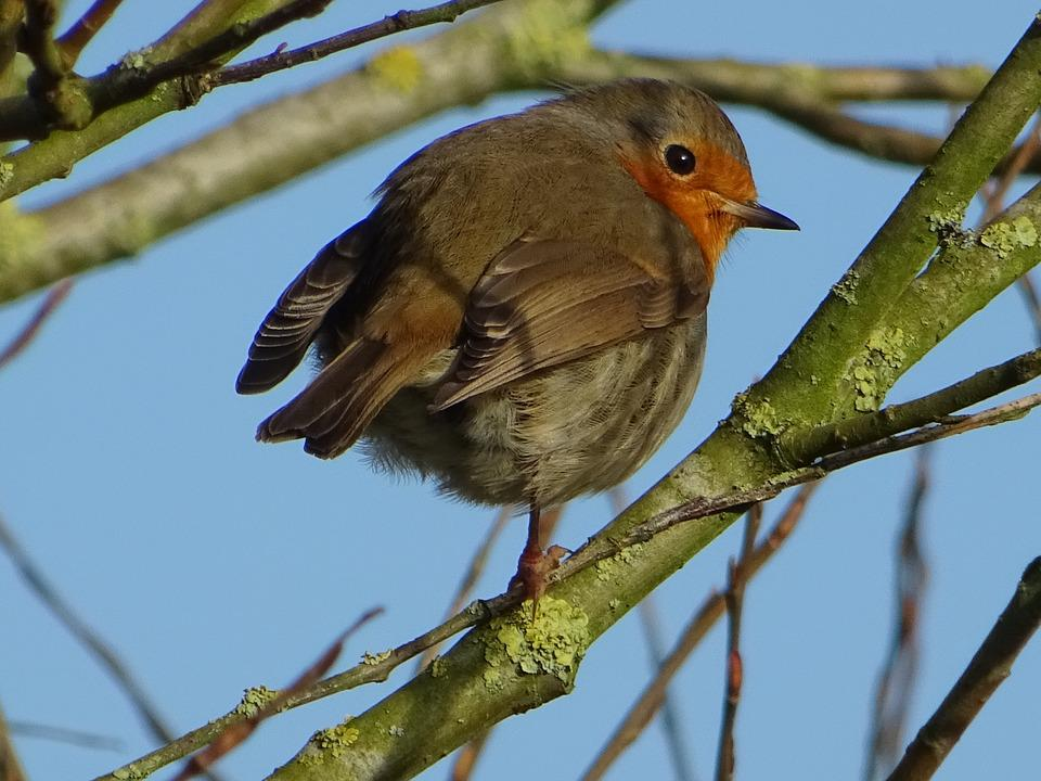 Bird, Robin, Spring