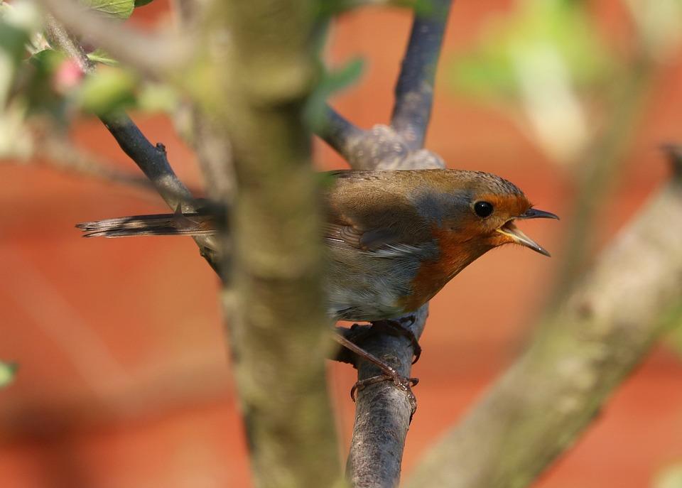 Robin, Tree, Bird