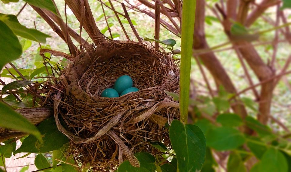 Nest, Robin, Eggs, Bird Nest, Robins Nest, Blue, Twigs