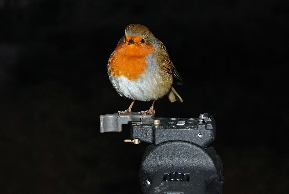 Robin, Bird, Tripod, Nature, Animal, Wildlife, Wild