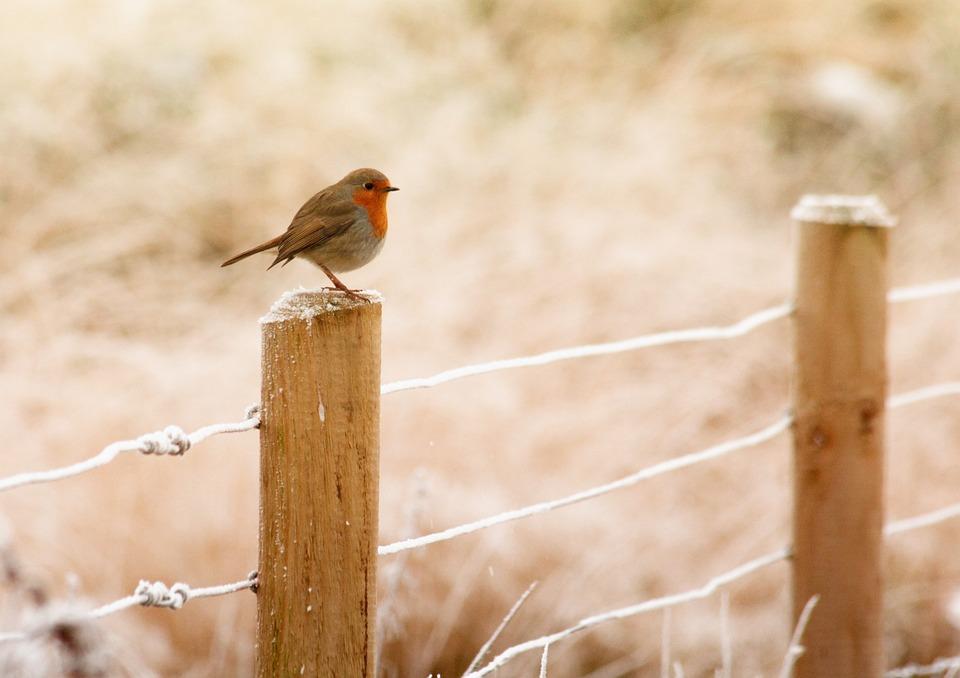 Winter, Robin, Bird, Christmas, Red, Wildlife, Snow