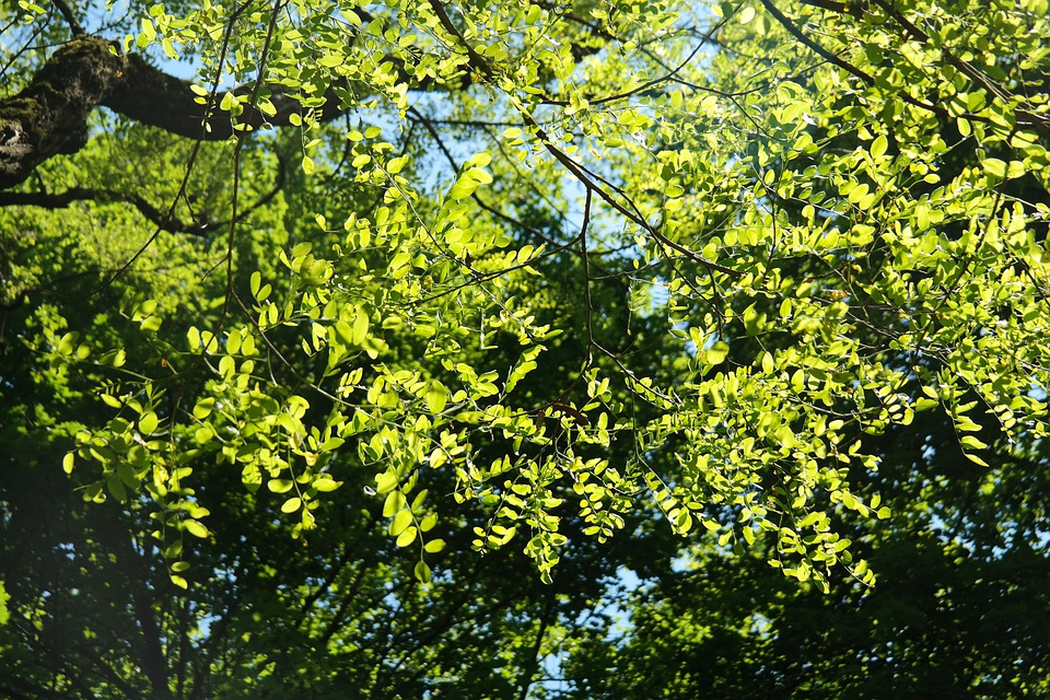 Leaves, Green, Robinia, Common Maple