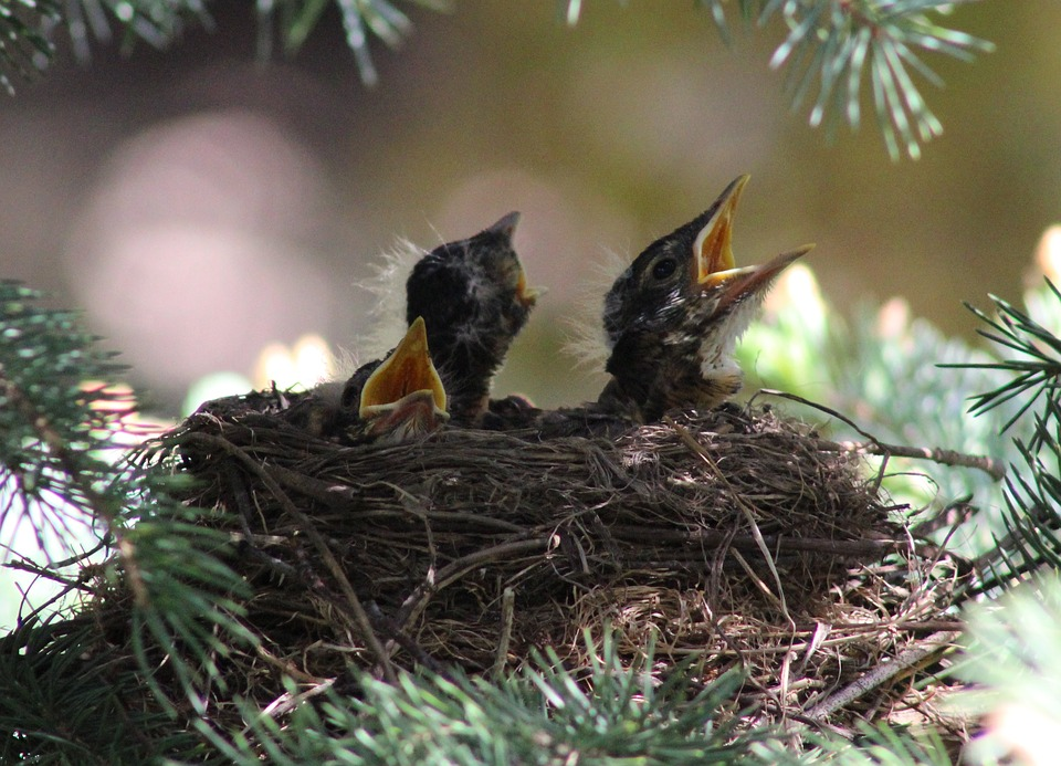 Robin, Birds, Baby Robins, Robins Nest, Nest, Nature