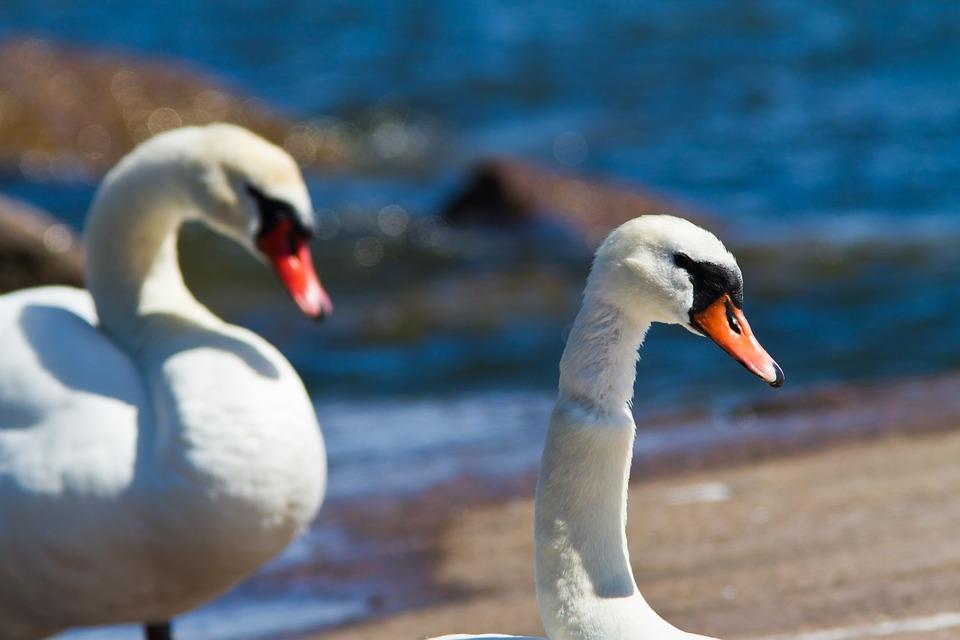 Swans, Couple, Rock, Light, Sea, Nature, Finnish