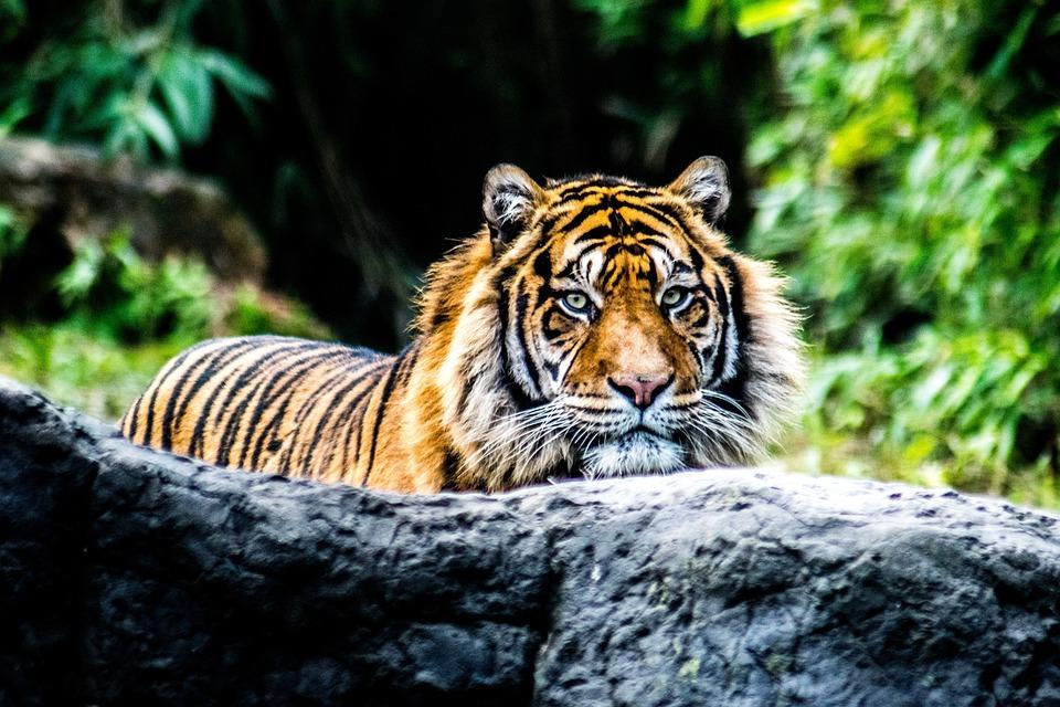 Tiger, Animal, Nature, Rock
