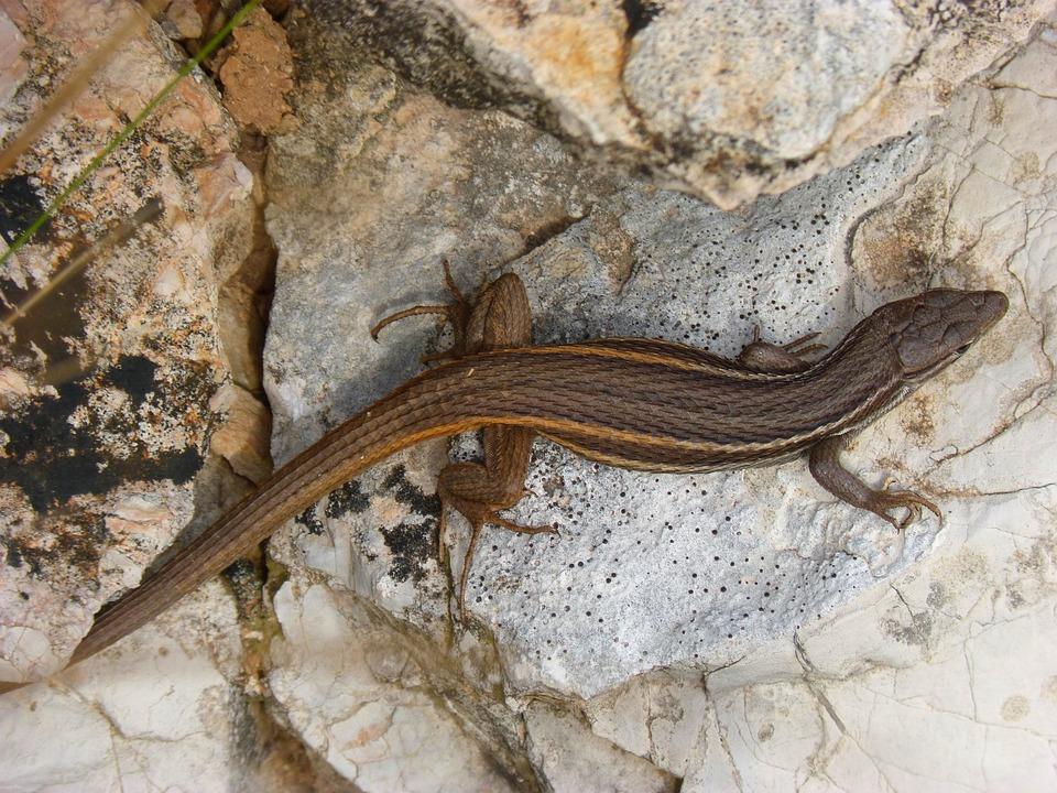 Lizard, Rock, Reptiles