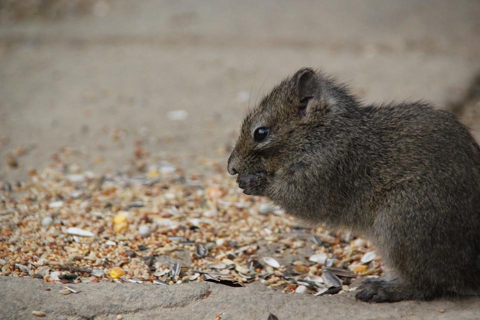 Rock Squirrel, Nager, Croissant, Animals, Cute, Rodent