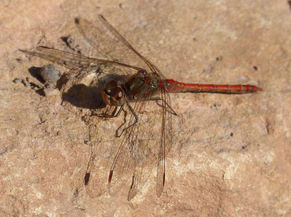 Dragonfly, Red Dragonfly, Rock, Winged Insect