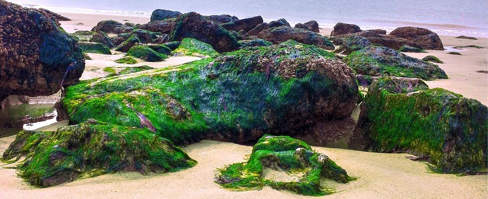 Algea, Rocks, Sea Moss, Ocean, Sea, Beach, Seascape