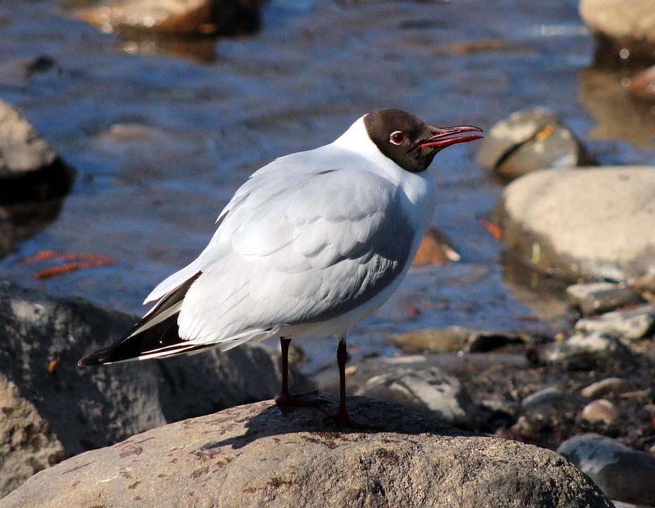 Bird, Sea, Ocean, Water, Rocks, Larus Ridibundus
